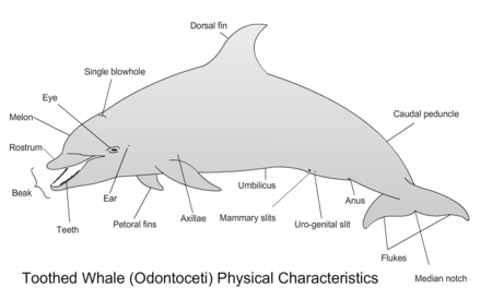 Toothed Whale Physical Characteristics.png